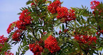 Рябина (лат. Sorbus aucuparia)