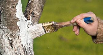 Побелка деревьев осенью: выбор средства, подготовка