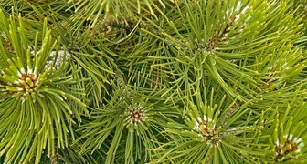 Сосна (лат. Pinus)
