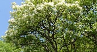 Ясень (лат. Fraxinus excelsior)