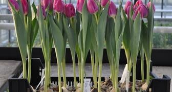Тюльпаны: выгонка и выращивание в контейнерах