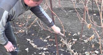Подготавливаем к зиме виноградную лозу