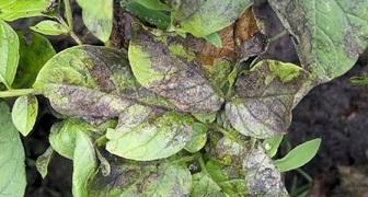 Фитофтороз почек (лат. Phytophthora cactorum) фото