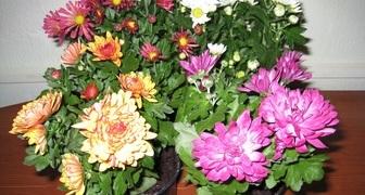 Комнатная хризантема: уход в домашних условиях фото