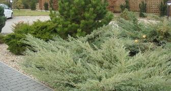 Хвойные растения для сада: уход и применение фото