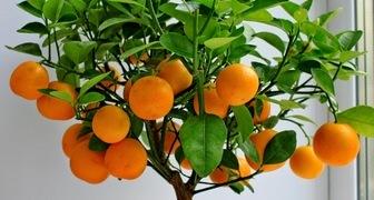 Мандариновое дерево: уход в домашних условиях фото