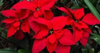 Выращиваем цветок Рождественская звезда, чтобы он зацвел к празднику