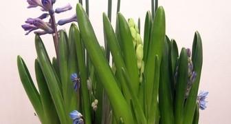 Выгонка луковичных цветов к Новому году