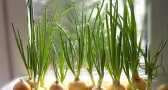 Как вырастить свежую зелень на подоконнике в декабре