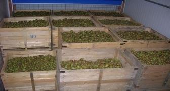 Сохраняем груши и яблоки до весны: уход за погребом в декабре