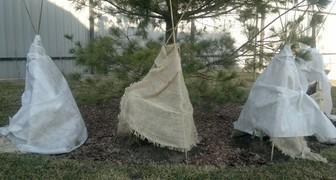 Укрываем зимующие рододендроны в декабре