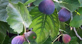 Дерево инжира в домашних условиях: особенности ухода и выращивания фото