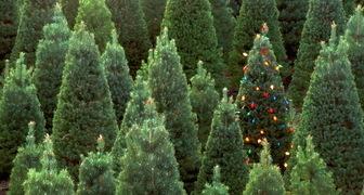 Как правильно выбрать елку на Новый год