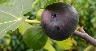 Инжир (лат. Ficus carica)