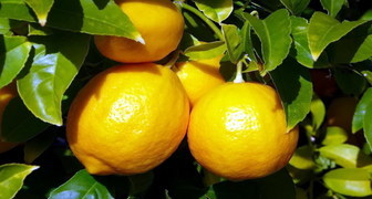 Лимон (лат. Citrus limon) фото