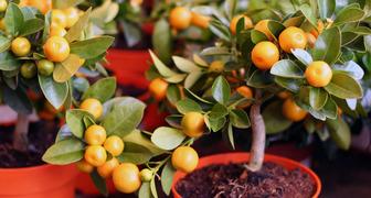 Как вырастить мандарин Клементина из косточки и собрать урожай
