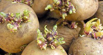 Проращиваем картофель весной перед посадкой правильно