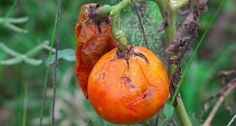 Как защитить помидоры от фитофтороза: профилактика и лечение