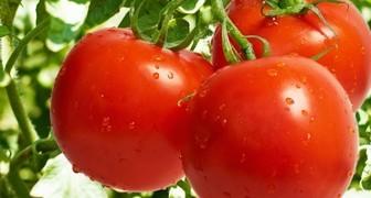 Фурацилин - лучшее средство от фитофторы томатов фото