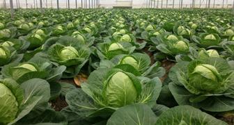 Соблюдение сроков посадки капусты весной избавит ее от болезней
