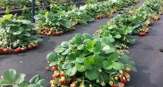 Как посадить клубнику весной, чтобы ягода была крупной и не болела