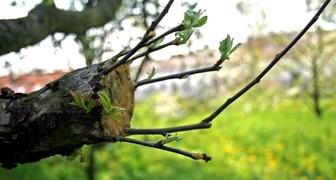 Прививка яблонь весной: лучшие способы - 100% приживаемость