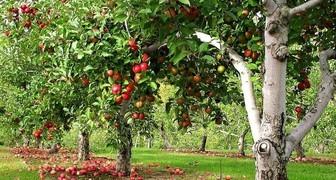 Как правильно посадить яблоню весной фото