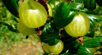 Удивительно простой способ размножения ягодных кустарников на участке