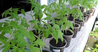 Выращиваем здоровые растения закаливая рассаду правильно