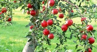 Технология посадки плодовых деревьев: схемы и описание процедуры