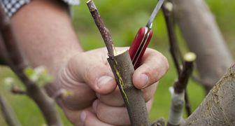 Прививка домашних и садовых деревьев, совместимость растений