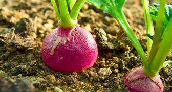 Когда и как посеять морковь, свеклу, редис в открытый грунт