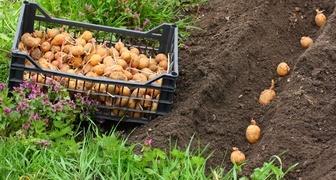 Различные способы ручной и механической посадки картофеля