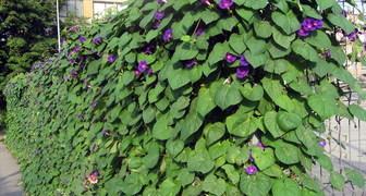 Выбираем неприхотливые растения для живой изгороди