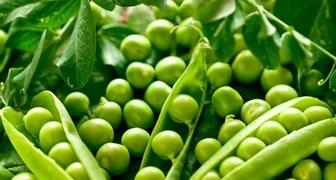 Горох, бобы и фасоль: секреты подготовки почвы и посева семян фото