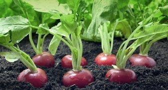 Посадка и выращивание редиса в открытом грунте четыре раза за сезон фото
