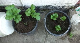 Выращивание картофеля в ведре: забавный эксперимент