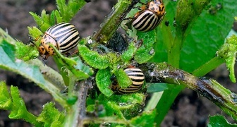 Три лучших народных способа борьбы с колорадским жуком