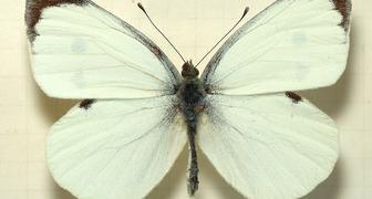 Бабочка – капустница (лат. Pieris brassicae)