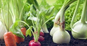 Подкормка и прореживание овощей - залог крупного урожая