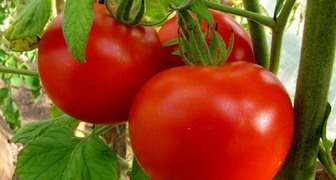 Готовим почву и высаживаем рассаду помидор