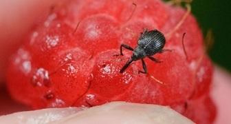 Спасаем урожай ягод - избавляемся от долгоносика на участке