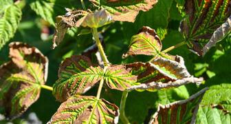 Курчавость малины (лат. Rubus virus3) фото