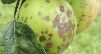 Подкожная пятнистость или горькая ямчатость яблок