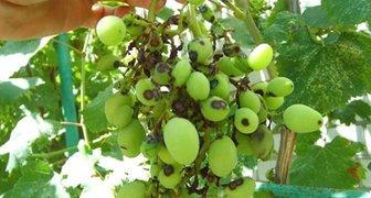 Антракноз винограда (лат. Elsinoe ampelina)