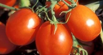Полив и подкормка помидоров в теплице