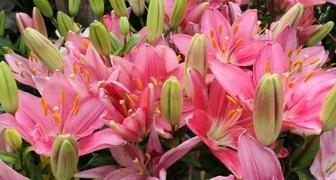 Самые красивые садовые лилии, сорта с фото и названиями