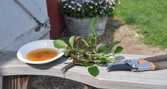 Легкий способ создания розария - размножаем розы черенками