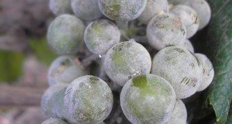 Оидиум, мучнистая роса (лат. Oidium tuckeri или Uncinula Necator)