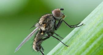 Луковая муха (лат. Napomyza gymnostoma)